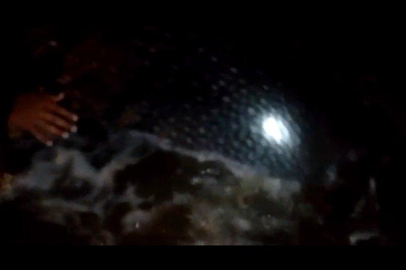 Seekor ikan paus terdampar di Pantai Bayem