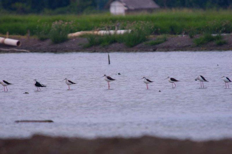Pantai Mutiara Baru jadi lokasi pengamatan burung migran