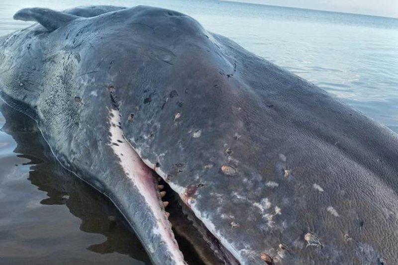 Seekor paus sepanjang 9,9 meter mati terdampar di pantai Timor Tengah Utara