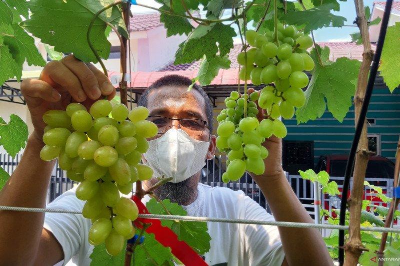 Budi daya anggur dalam pekarangan rumah warga Pontianak diminati