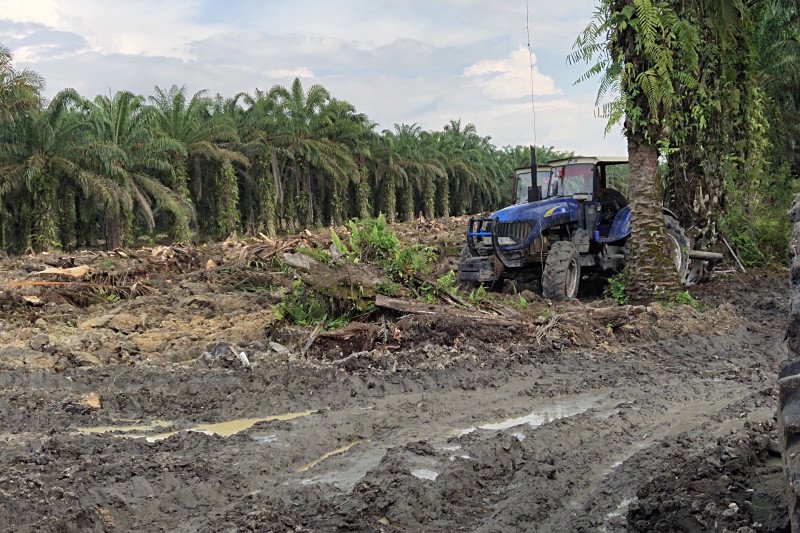 Sejumlah petani sawit Kuansing mulai laksanakan program replanting