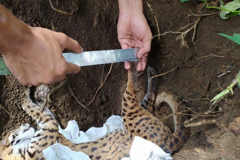 Kucing hutan kondisi mati ditemukan di Pasar Lubukbasung
