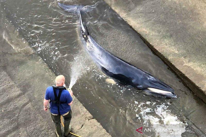 Tim penyelamat bebaskan paus kecil terdampar di sungai Thames