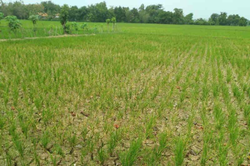 Pemkab Indramayu normalisasi irigasi untuk selamatkan tanaman padi petani