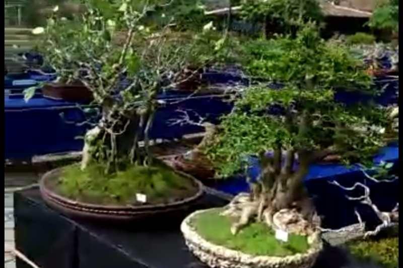 Ratusan bonsai ikut kontes di Borobudur