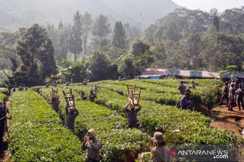 Ratusan lapak PKL di Puncak Bogor dibongkar Satpol PP
