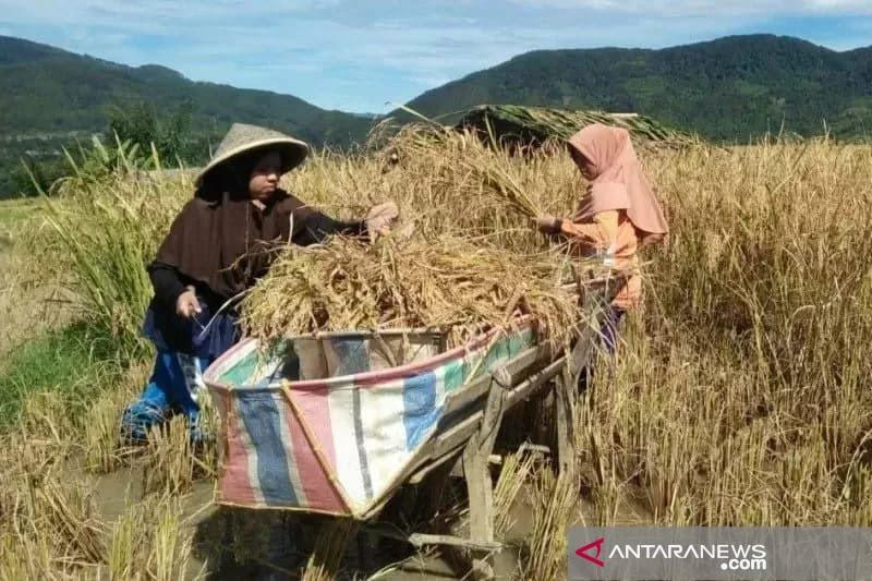 Ini dilakukan Dinas Pertanian Solok untuk bangkitkan pamor beras Anak Daro Solok