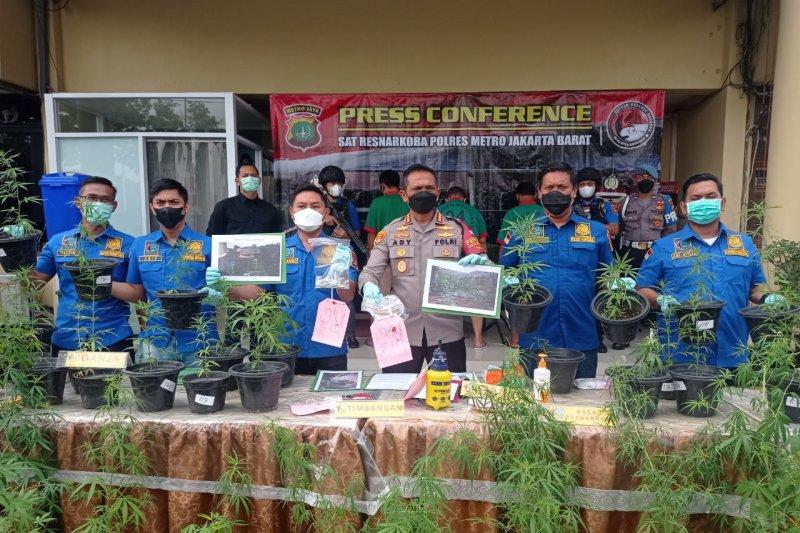 Polisi sebut kebun ganja hidroponik di Brebes hasilkan 40 kilogram