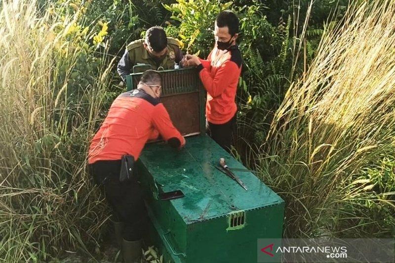 BKSDA pasang perangkap incar beruang besar yang masuk ke permukiman di Sampit