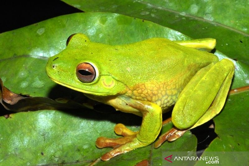New frog species discovered in area of PT Freeport Indonesia