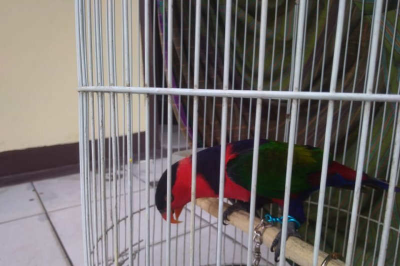 Karantina Lampung gagalkan penyelundupan puluhan ular sanca dan burung kasturi