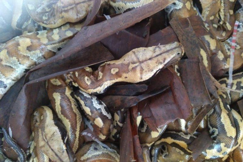 Karantina Pertanian Lampung gagalkan penyelundupan 20 ekor ular sanca