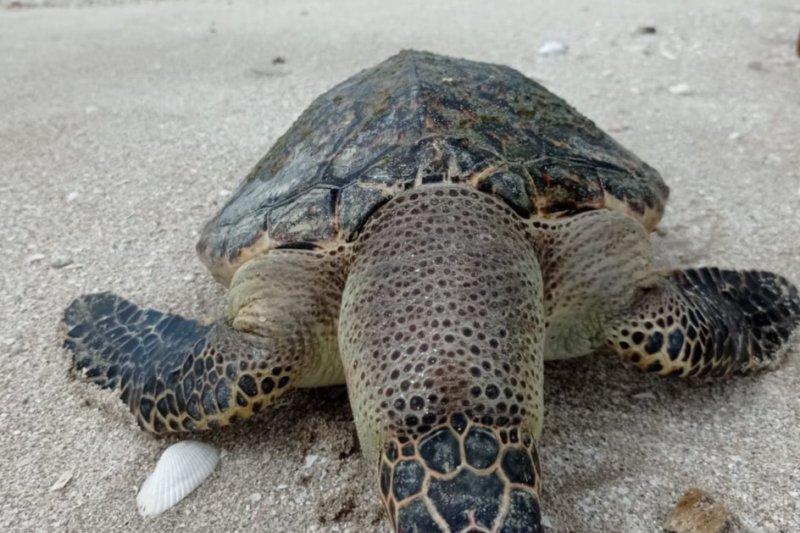 Penyu sisik ditemukan terdampar di Pantai Mutiara Baru
