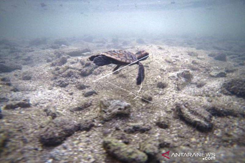 Pelestarian Penyu Sisik Di Pulau Sabira Kepulauan Seribu