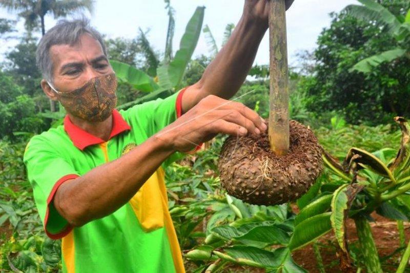 Pemprov Sumsel dorong petani tanam porang  tingkatkan pendapatan