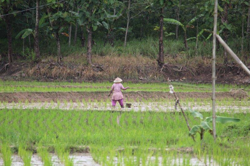Petani Lampung siapkan burung hantu kendalikan hama
