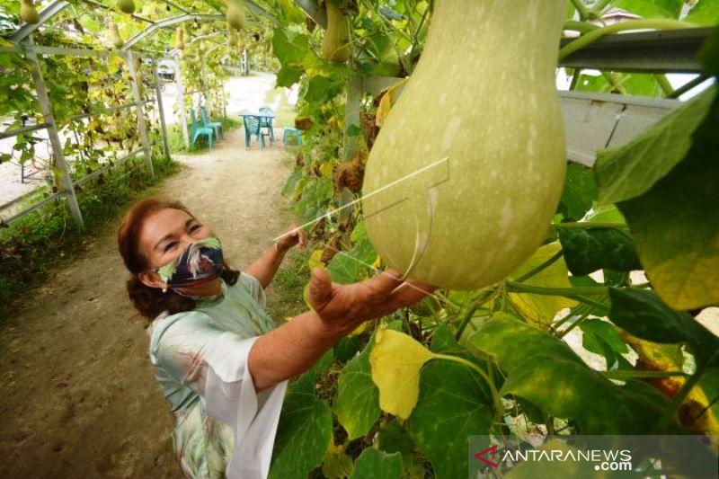 Agrowisata petik buah labu Payakumbuh