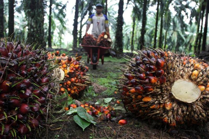 Malaysia ungguli Indonesia menjadi pemasok minyak sawit utama India