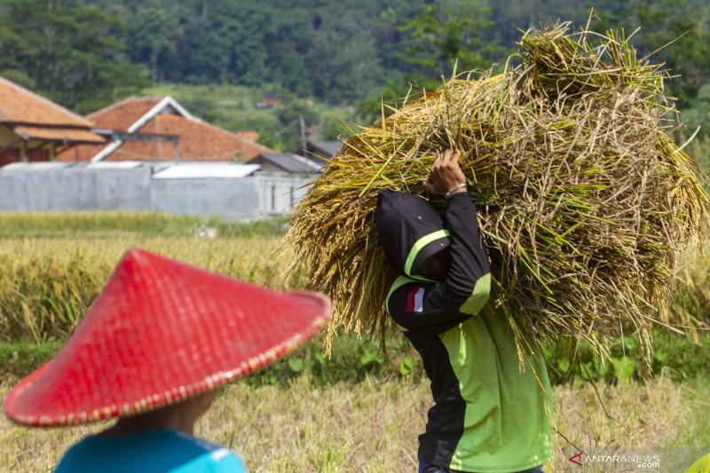 Petani di Karawang panen padi di atas rata-rata hingga 9,3 ton per hektare