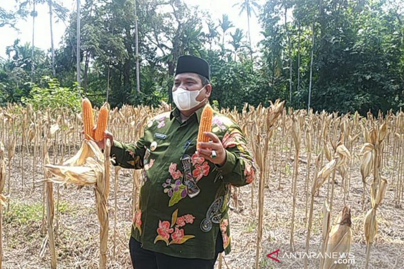 Bupati Padang Pariaman ikuti panen raya Jagung kelompok tani wartani