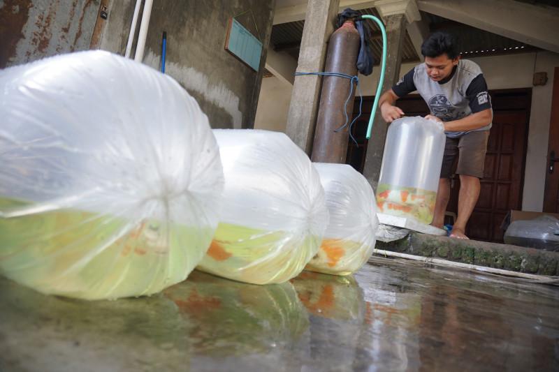 Pedagang Ikan Keluhkan Sulitnya Dapat Oksigen dan Harga Selangit