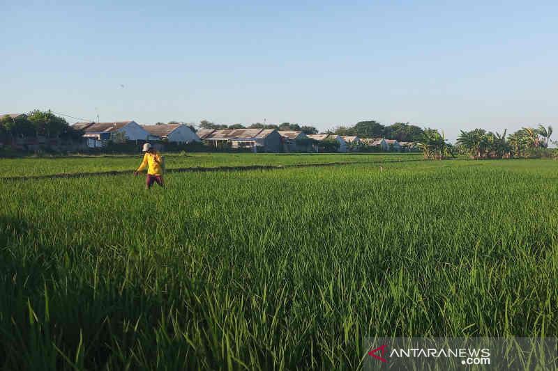 Petani di Kuningan yang ikut asuransi usaha tani padi masih minim