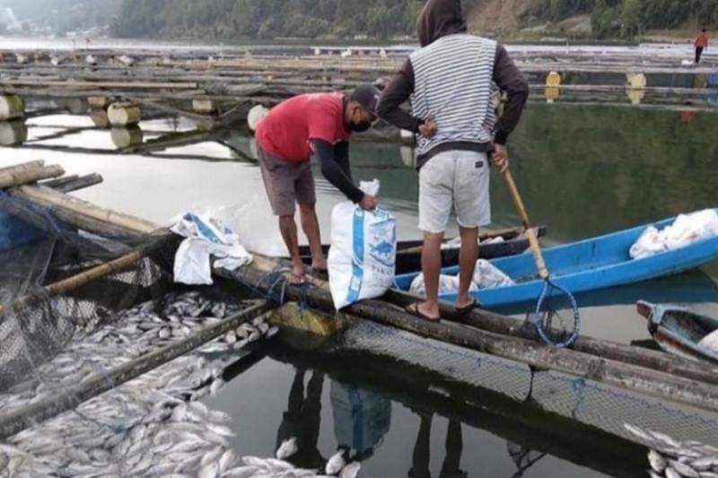 Ribuan ikan nila di Bali mati keracunan belerang