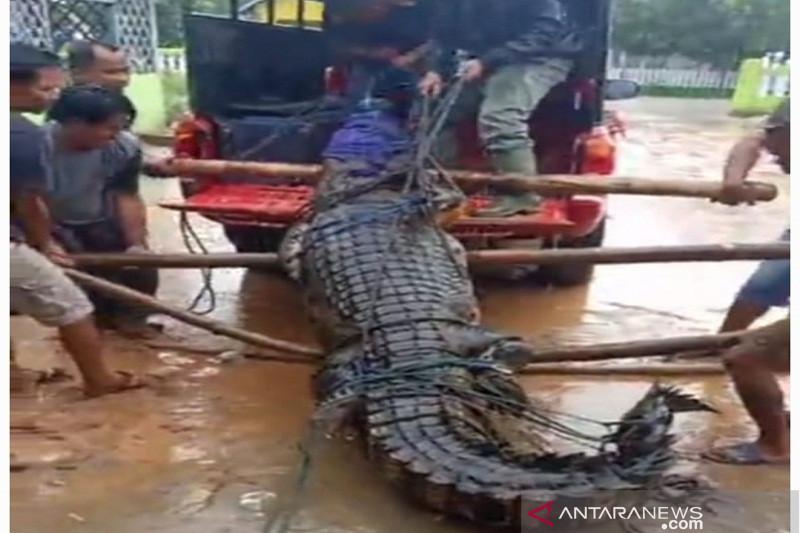 BKSDA Sulawesi Tenggara amankan seekor buaya panjang 3,9 meter
