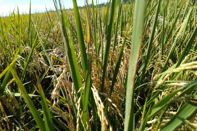 Bulog Karawang libatkan 30 mitra serap gabah petani