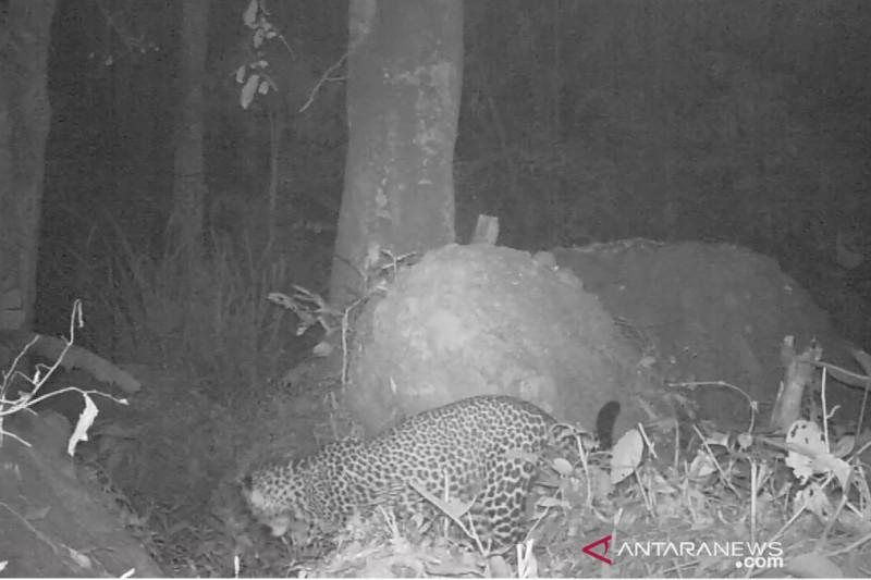 Warga diminta tidak berburu macan di Gunung Sanggabuana Karawang