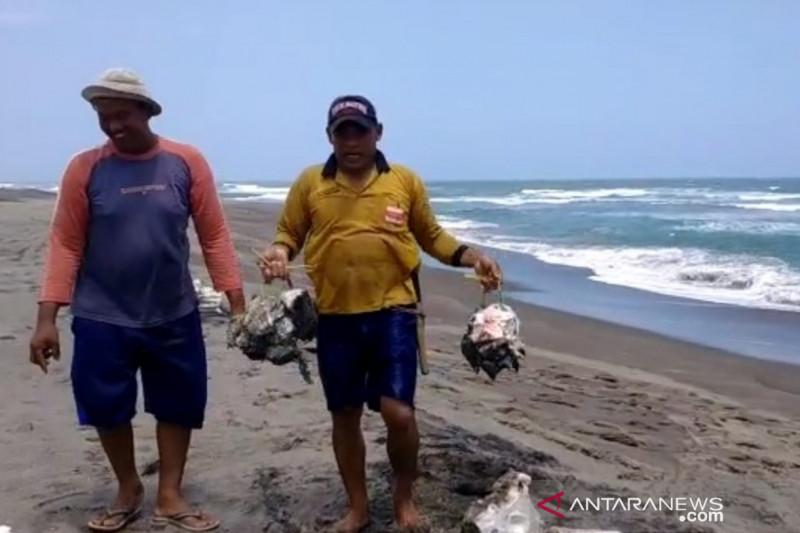 Bangkai hiu paus tutul terdampar di pantai Cianjur