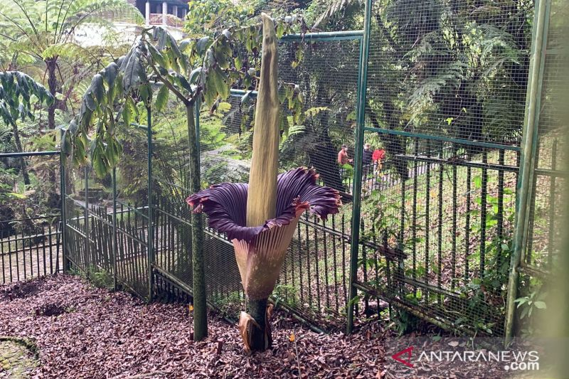 Bunga Bangkai setinggi 289 cm mekar di Kebun Raya Cibodas