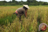 Banjir picu Kapuas Hulu defisit beras